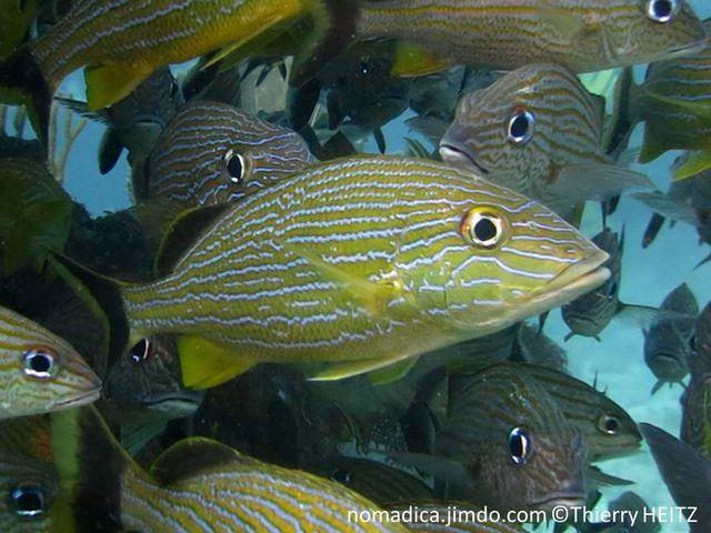 Poissons, comprimé, couleur bronze, jaune-doré, lignes bleues horizontales,  2ème nageoire dorsale et queue,  couleur noire marge jaune