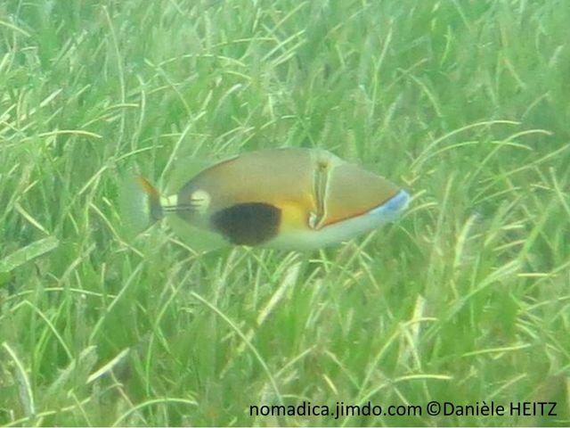 poisson, ovale, beige, ventre blanc, flanc, tache noire