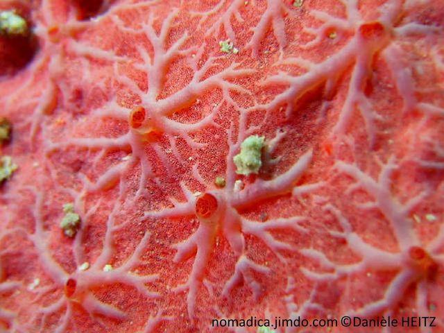 éponge, rose-orangé, encroûtante, oscules, réseau de veines