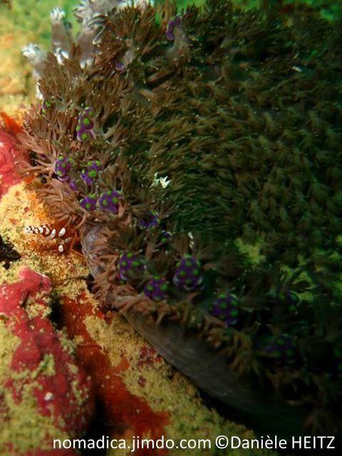 anémone, forme tapis, tentacules ramifiés, bordure, grappes de boules violettes, sommets verts