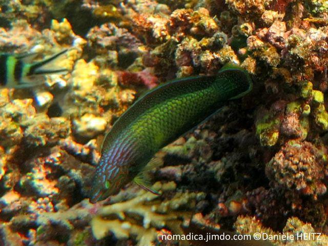 Poisson allongé, corps verdâtre, grosses écailles, marge bleue, tête orangée, motif, lignes bleu-vert