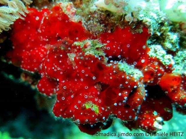 éponge, rouge, oscule, membrane