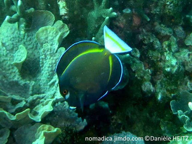 poisson, corps aplati, élevé, bleu foncé à noir brunâtre, tache blanche sous l'oeil, bande jaune base nageoire dorsale et anale, queue blanche, bande jaune