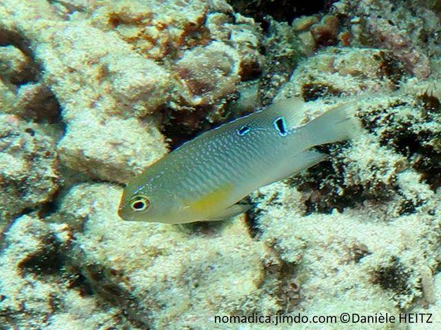 poisson, brun clair, nageoires, pectorales, jaunes, ocelle, arrière, dorsale