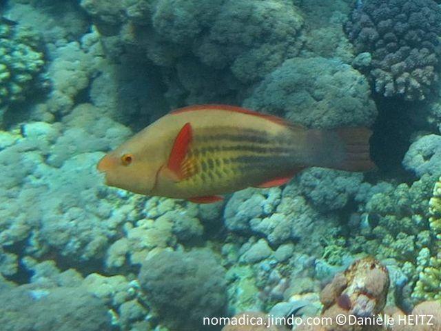 Poisson, dos beigen flancs, alignement de taches noires, nageoires rouges, queue noirâtre