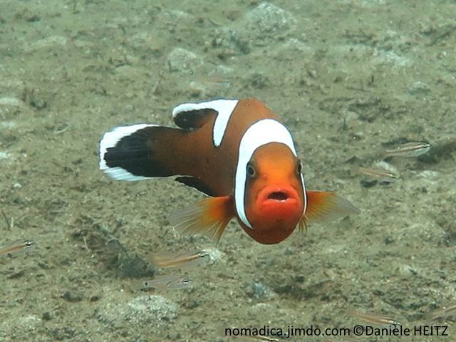 Poisson, couleur orange, orange foncé à noir, dos selle blanche, tête bandeau large blanc, queue marge blanche
