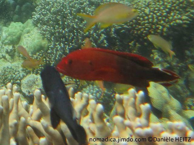 Poisson, rouge-orangé, arrière noirâtre, queue, 2 bandes blanches obliques