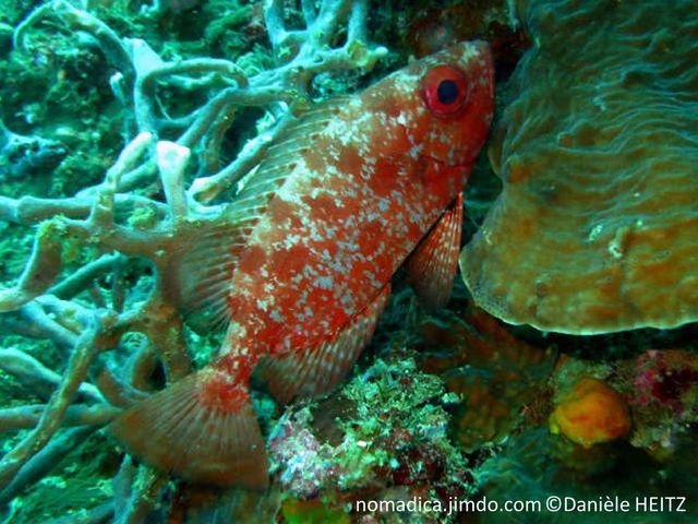 poisson, rouge à marbré rouge, gros yeux rouges