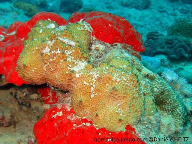 Eponge, encroûtante, surface conules, aspect figue de barbarie, oscules, membrane proéminente