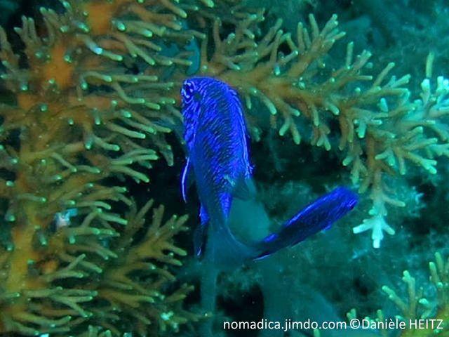 Poisson, corps bleu uniforme à bleu marbré noir