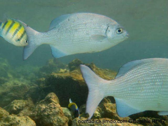 poisson, massif, gris, clair, foncé, queue échancrée