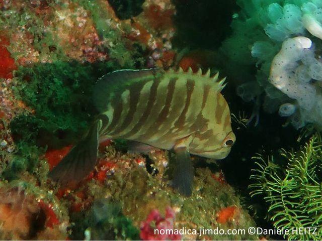 Poisson, verdâtre, bandes verticales vert-brunâtres, nageoire dorsale et anale, bande noire bordée de bleu, queue, 2 bandes noires obliques bordées de bleu