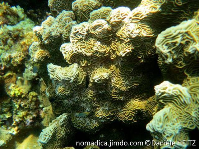 Corail, plaques bifaciales, verticales, irrégulières, compactes,  tordues, surface ondulées.