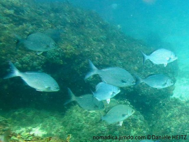 Poisson, gris argenté, lignes horizontale fines, jaune pâle, nageoires noirâtres, base  dorsale et anale, zone blanche
