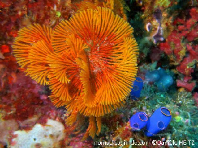 bryozoaire, forme, éventail, branches ramifiées, couleur rouge orange