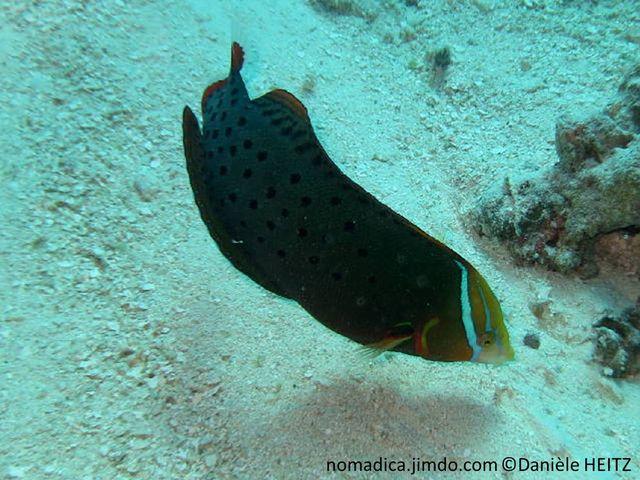 poisson, gris, points noirs,  joue, ligne, oblique, turquoise, queue orange, bande blanche