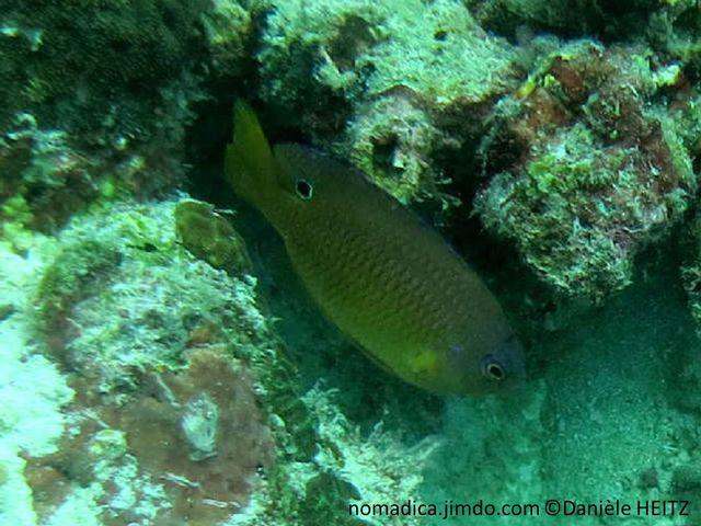 Poisson,  brun-jaunâtre, grosses écailles, à marge sombre, arrière dorsale, ocelle noir cerclé bleu vif