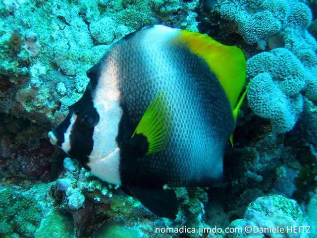 poisson, bandes, noires, front, protubérance