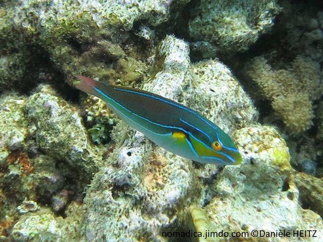 poisson, brun verdâtre, lignes bleues, nageoire pectorale, tache jaune, joue jaune orangé