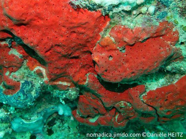 éponge incrustante, rouge à rouge orangé, oscules, membrane