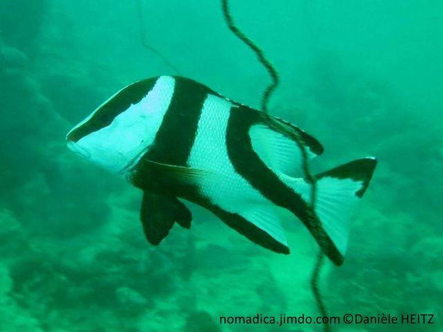 poisson, blanc, bandes, rougeâtres, noires