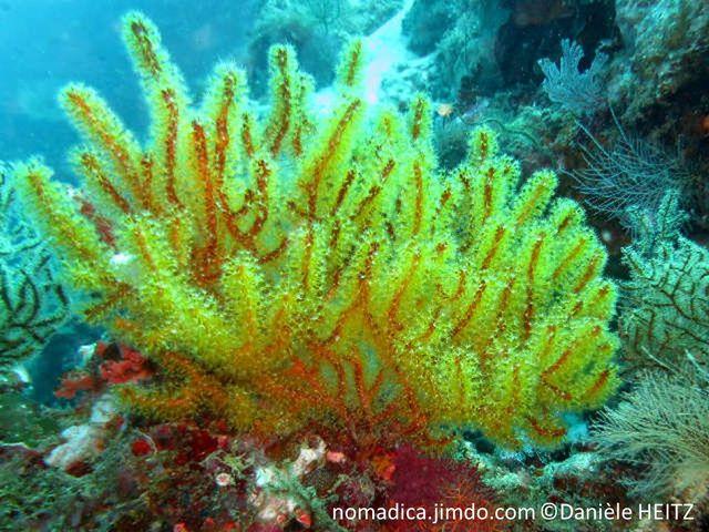 Gorgone, forme buisson,  branches ramifiées, brun rouge, polypes jaunes
