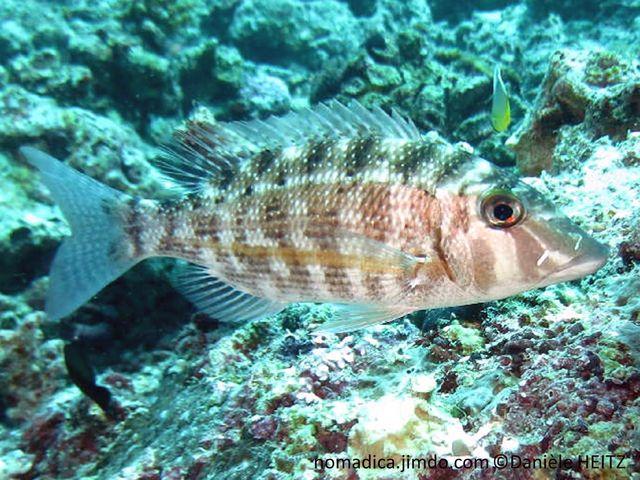 poisson, bande, horizontale, jaune, corps marbré