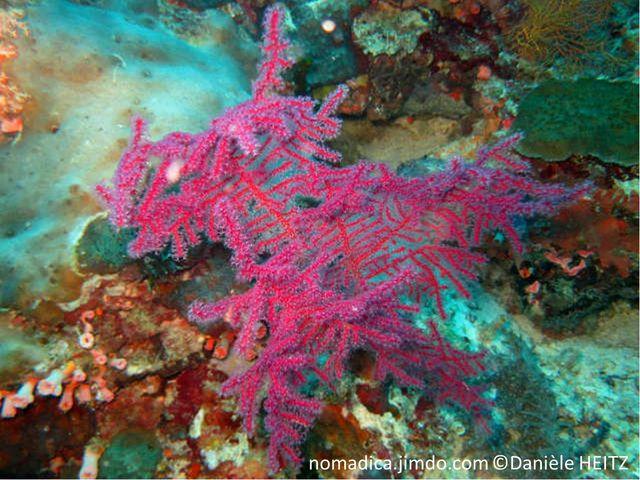 Gorgone, branches rouges, sur une même plan, polypes transparents