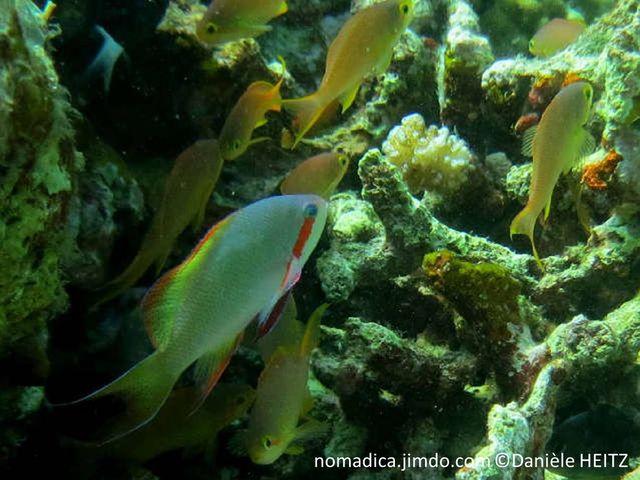 poisson, allongé, vert bleuté, large ligne rouge de l'oeil à la nageoire pectorale