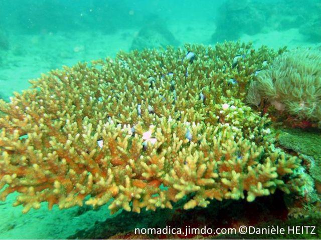Corail, table horizontale, couleur brun rosé, branches, doigts courts, courbés, corallites tubulaires.