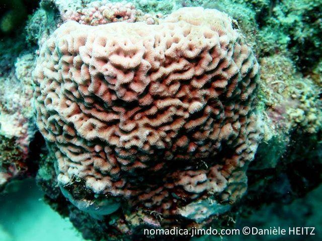 corail dur, forme dôme, surface vallées sinueuses