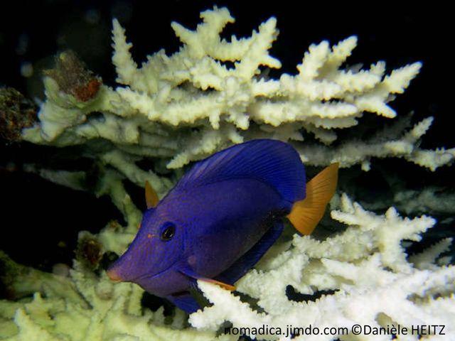 Poisson,  comprimé latéralement, bleu, queue jaune