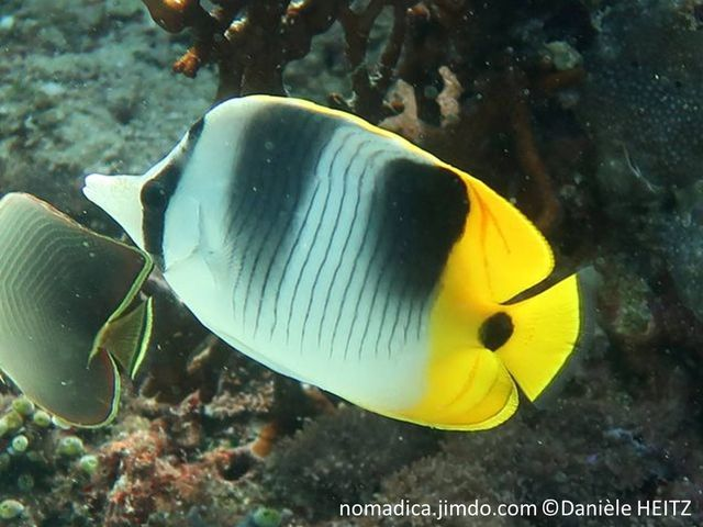 Poisson, aplati, rectangulaire, blanc, lignes noires verticales, 2 taches noires, arrière jaune, queue tache noire, tête bande noire