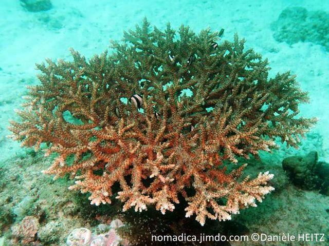 corail, buisson touffu, branches, ramifiées, courtes