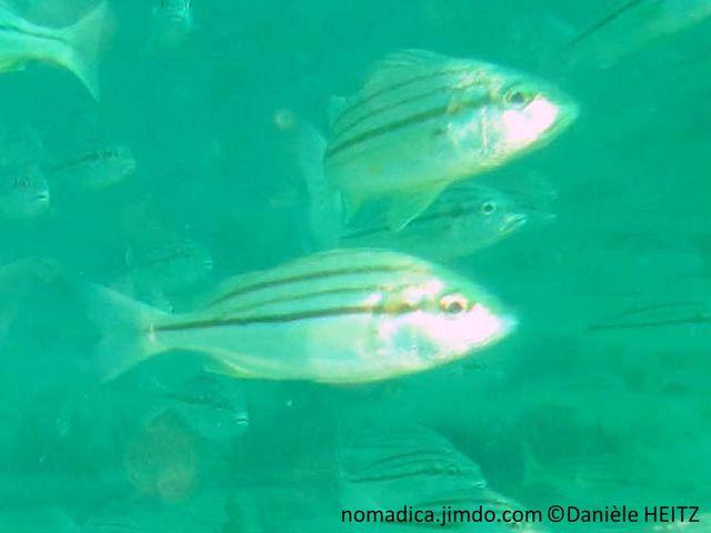 poisson, petite, taille, corps, argenté,  rayures, bronze, moitié supérieure corps