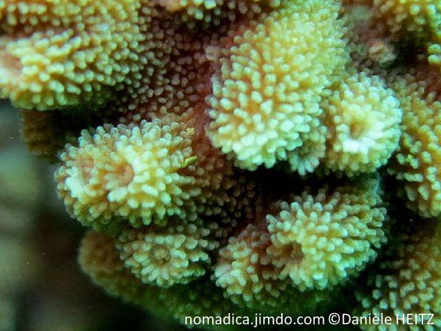Corail encroûtant, hémisphérique, corallites tubulaires, aspect chaotique, surface papilles