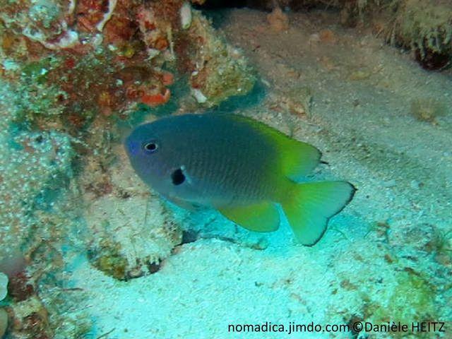 poisson, corps bleuté, gris mauve, arrière jaune, queue, liseré noir, base nageoire pectorale, tache noire