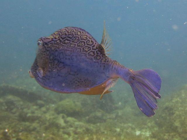 poisson coffre, bleu,motifs hexagonaux, noirs, 2 cornes, 2 épines arrière corps