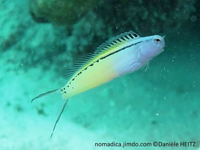 Poisson, corps allongé, avant bleu, arrière jaune pâle, ligne noire finissant en pointillé