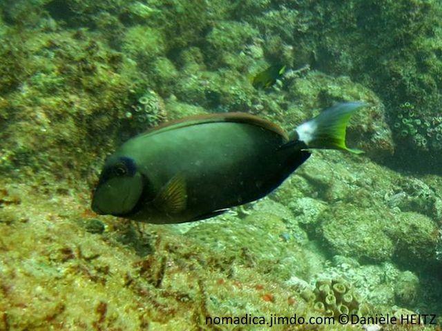 poisson, ovale, grisâtre, bleuté, brun, oeil, tache bleue, queue, marge croissant jaune
