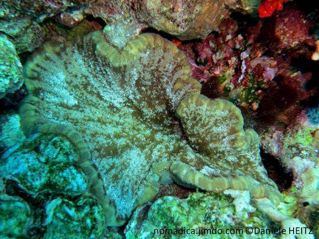 anémone, forme tapis, bordure, couleur contrasté, bourrelet, tentacules, serrés, ramifiés