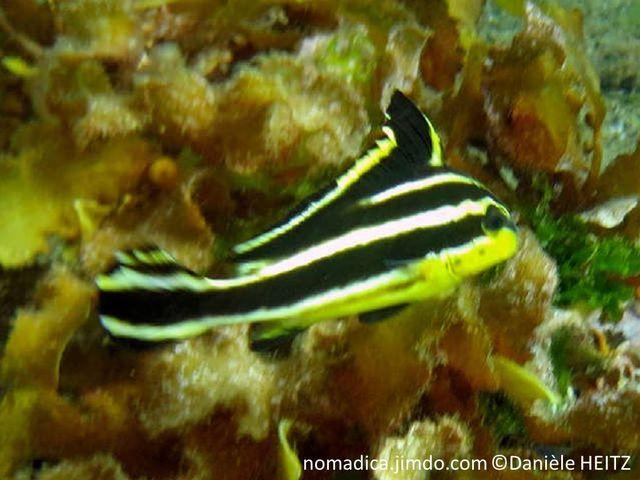Poisson, juvénil, noir, bandes blanches, ventre jaune, avant dorsale  haut