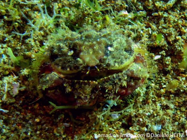 crabe, large, trapu, nodules verruqueux, brun, orangé, violacé