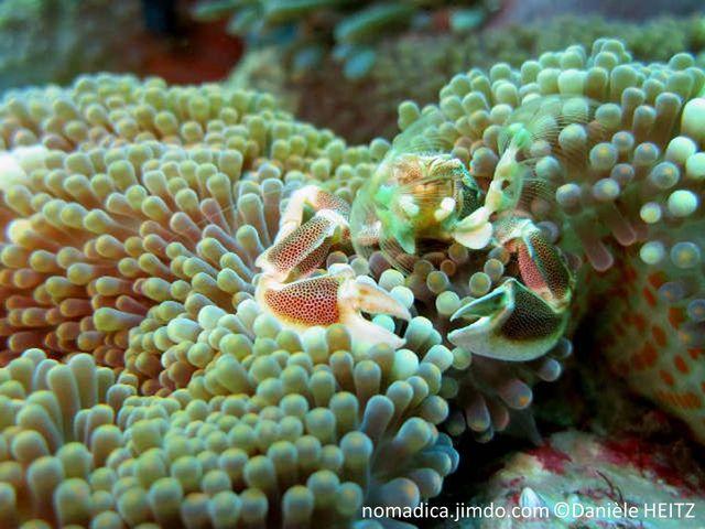 anémone, forme tapis, tentacules courts, bouts arrondis, dessous, verrues adhésives orange