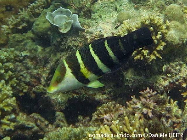 poisson, noir, bandes verticale  blanc-jaunâtres