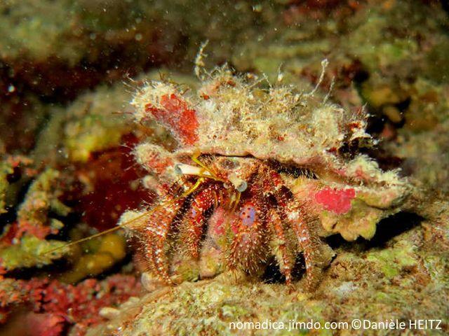 Bernard l'ermite, antennes, jaunes, pattes, poilues, rougeâtre, points blancs