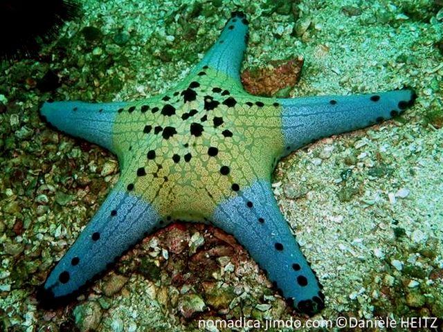 Etoile de mer, gris bleuté,disque central large, teinté jaune,5 bras épais, courts, tubercules noirs alignés