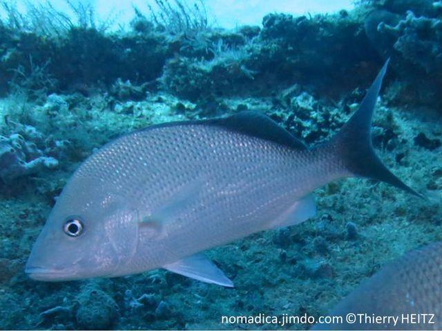 Poisson, front haut, gris terne, nageoires dorsale  et caudale noires