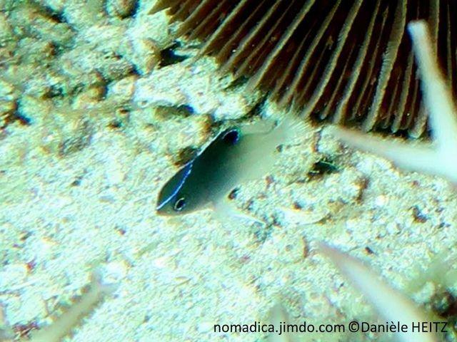 poisson, bicolre noir, blanc, tête, museau à nageoire dorsale, ligne bleu-électrique,