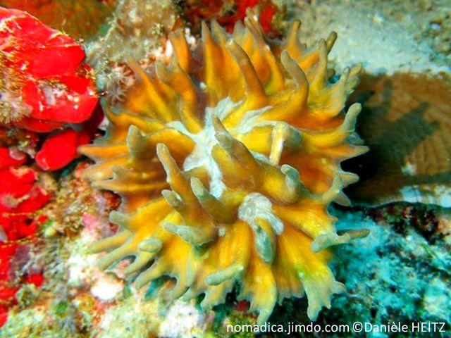 Corail dur, forme, plaque, coupelle, cornes dirigées vers le haut, couleur jaune, vert, brun